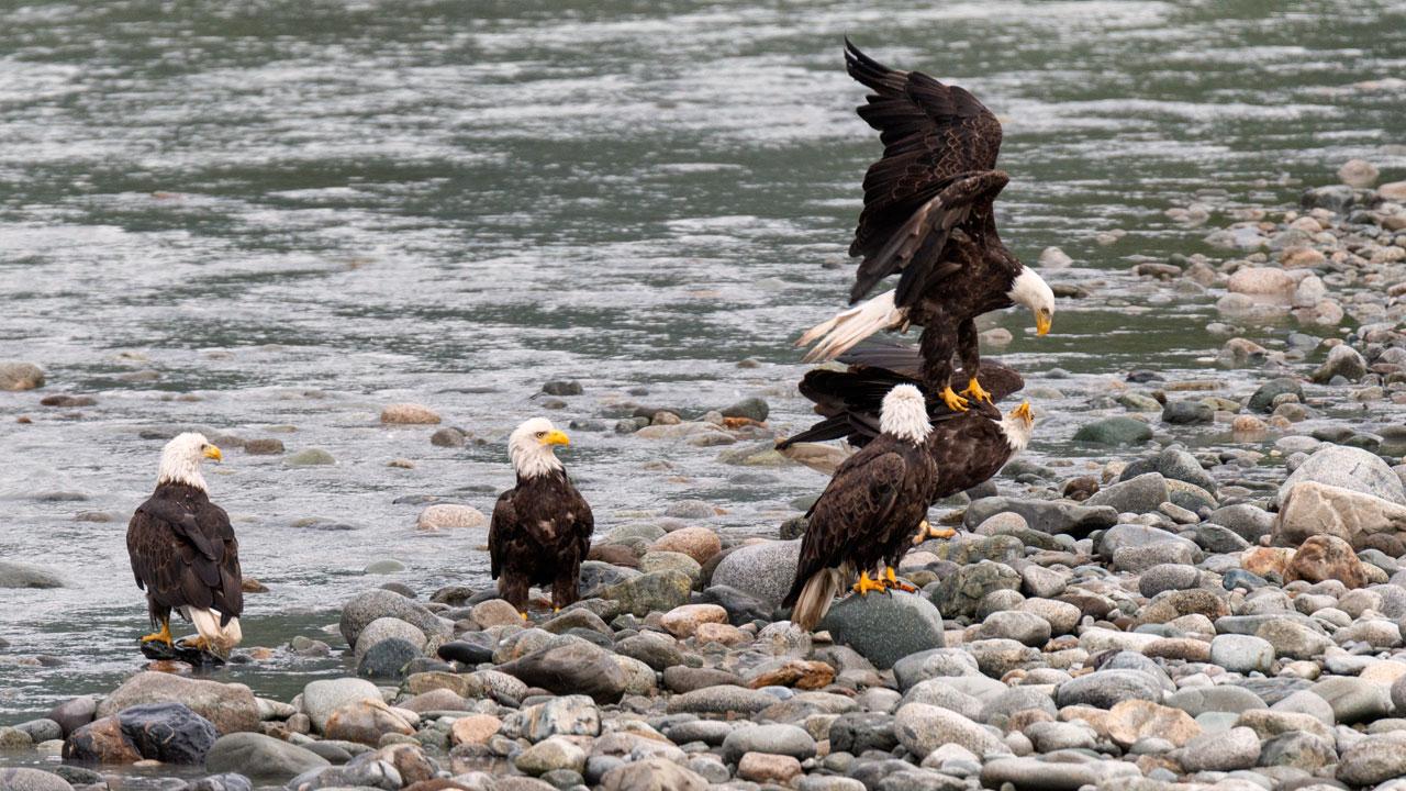 Fünf Weißkopfseeadler am Gletscherfluss